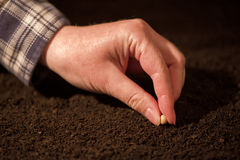 Female hand seeding soy beans into the soil ground. Woman planting seeds into arable land Royalty Free Stock Photo