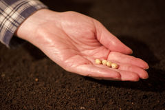 Female hand seeding soy beans into the soil ground. Woman planting seeds into arable land Stock Photography