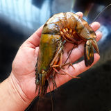 Female hand and shrimp. Size comparison. Royalty Free Stock Photography