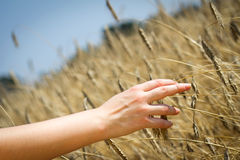 Female hand slide over the wheat Royalty Free Stock Images