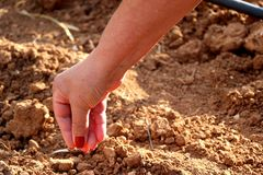 Woman hand planting seeds in the brown soil. royalty free stock images