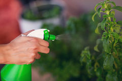 Female hand spraying water on house plant stock photos