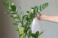 Female hand sprays indoor plant zamiokulkas stock photography