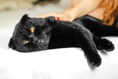 Female hand stroking serious black Cat with Yellow Eyes in Dark. royalty free stock images