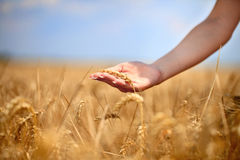 Female  hand stroking the stems of wheat Stock Photography