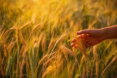 Female hand stroking touches of ripe ears of wheat at sunset. In the background royalty free stock image