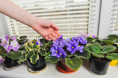 Female hand takes care of the flowers. African Violet or Saintpaulia on the background of window with jalousie, shutter, houseplants. Female takes care of the Royalty Free Stock Photo