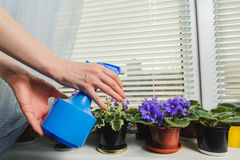 Female hand takes care of the flowers. African Violet or Saintpaulia on the background of window with jalousie, shutter, houseplants. Female takes care of the Royalty Free Stock Photography