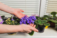 Female hand takes care of the flowers. African Violet or Saintpaulia on the background of window with jalousie, shutter, houseplants. Female takes care of the Stock Photo