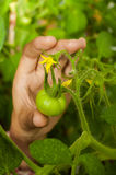 Female hand takes a green tomato stock photo