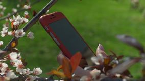 Female hand texting message on smart phone in park. Closeup of female hands with pink manicure texting message on smart phone in blooming cheery blossoms on stock video footage