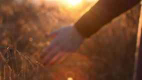 A female hand touches spikes in a field against a sunset background stock video footage