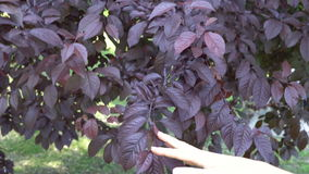 Female hand touches tree leaves in summer park.  stock footage