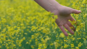 Female hand touches yellow flowers. Woman touching beautiful yellow flowers. Female hand touches yellow flowers in nature close up. Woman touching beautiful stock video