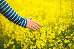 Female hand touching gentle blooming rapeseed crops Stock Photo