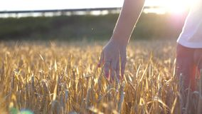 Female hand touching a golden wheat in the field. Arm of girl stroking rye at the meadow. Sun flare at background. Slow stock video footage