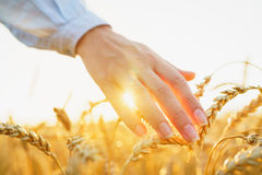 Female hand touching wheat on the field in a sunset light. Female hand touching a golden wheat on the field in a sunset light Royalty Free Stock Image
