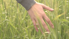 Female hand touching green fresh wheat in summer field. Moving through high grass in meadow stock video footage
