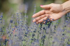 Female hand touching lavender flowers royalty free stock photo