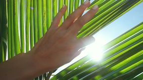 Female hand touching palm leaf and the sun. Woman enjoying bright tropical sun with lens flare effects in slow motion on. Female hand touching palm leaf and the stock video footage