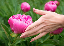 Female hand touching peony flower Royalty Free Stock Images