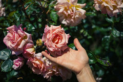 Female hand touching rose Royalty Free Stock Photo