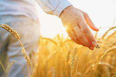 Female hand touching wheat on the field in a sunset light. Female hand touching a golden wheat on the field in a sunset light Royalty Free Stock Photos