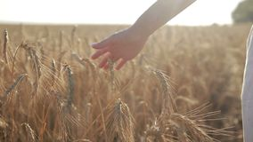 Female hand touching wheat spikes at sunset light stock footage