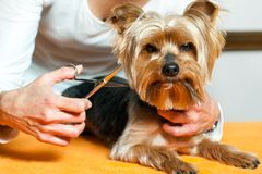 Female hand trimming dogs hair. Stock Photo