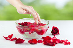 Female Hand, Water Drops and Roses Petals. Spa Salon: Beautiful Female Hand with French Manicure in the Glass Bowl of Water with Red Roses and Rose Petals at the Royalty Free Stock Photography