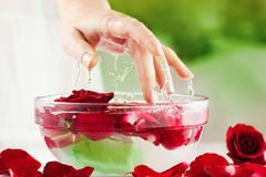 Female Hand, Water Drops and Roses Petals. Spa Salon: Beautiful Female Hand with French Manicure in the Glass Bowl of Water with Red Roses and Rose Petals at the Royalty Free Stock Photo