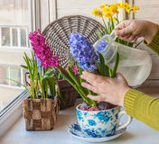 Female hand watering flowering hyacinths in a vintage pot-cup Stock Images