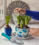 Female hand watering home plants Royalty Free Stock Photography