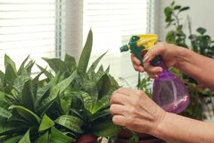 Female hand watering the plants on the windowsill. stock images