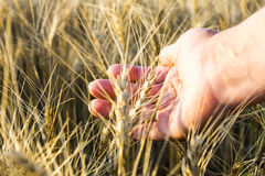 Female hand wins the ears of wheat.  The sunset. Royalty Free Stock Photo