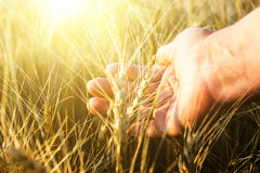 Female hand wins the ears of wheat.  The sunset. Royalty Free Stock Photography