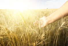 Female hand wins the ears of wheat.  The sunset. Stock Photo