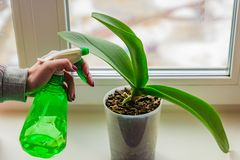 Female Hand With Manicure Spraying Green Leaves Of Moss Orchid In A Pot Standing On Window Sill. House Plant Care Concept Royalty Free Stock Photos