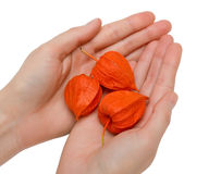 Female handful and physalis. A hands of young woman with gooseberry fruits Royalty Free Stock Photography