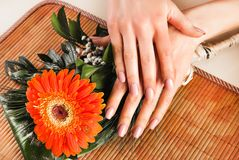 Female hands with beige natural color nails on Gervera orange flower. Young beautiful Female hands with beige natural color nails on Gervera orange flower. Close royalty free stock photography
