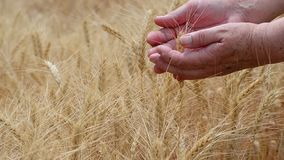 Female hands caress the ears of rye on an agricultural field, a symbol of the country.  stock video footage