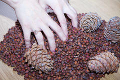 Female hands with cedar nuts and cones Stock Photography