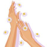 Female Hands and Chamomile Flowers Stock Photo