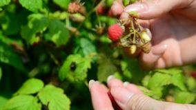 Female hands collect raspberries in garden stock video footage
