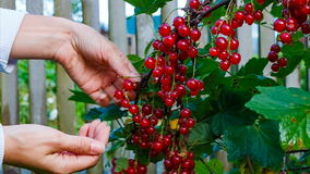 Female hands collect red currants stock video footage