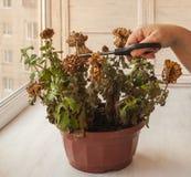 Female hands cut chrysanthemum Stock Image