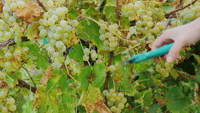 Female hands cut grapes. Ripe white grapes in the vineyard, Lake Ontario stock footage