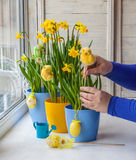 Female hands decorated by Easter pot of narcissus Stock Photo