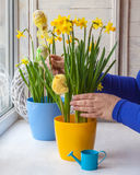 Female hands decorated by Easter pot of narcissuses Royalty Free Stock Image
