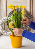 Female hands decorated by Easter pot of narcissuses Royalty Free Stock Photos